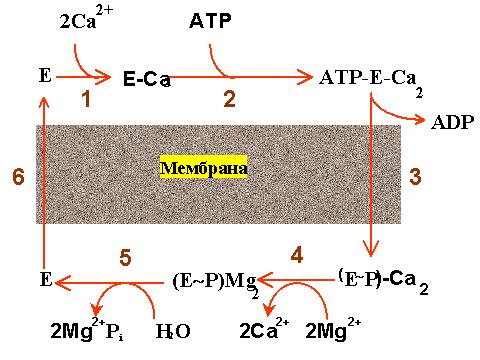 связывание ионов кальция,